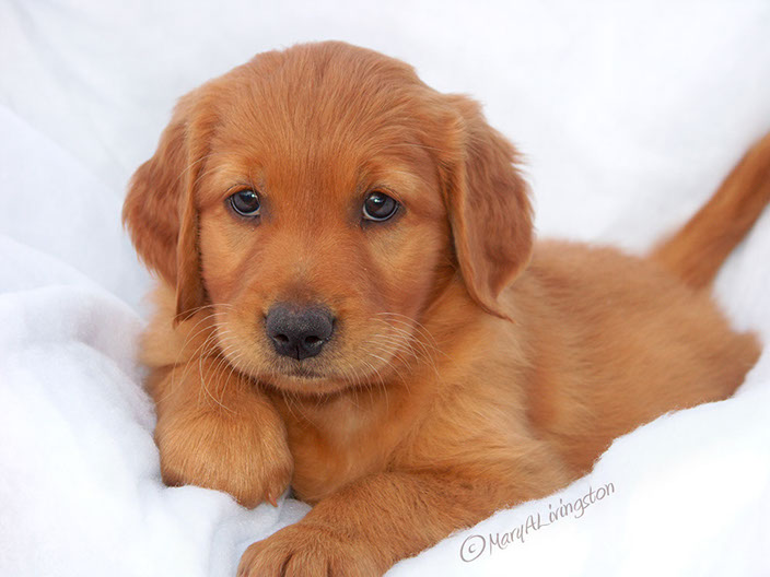 GOLDEN RETRIEVER PUPPY WANTED MAINE